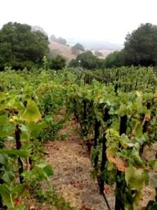 Very tightly planted Pinot Noir @ Popelouchum (14,000 vines/ha)